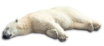 One polar bear royalty free stock photography