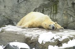 Polar Bear at Roger Williams Zoo Stock Images