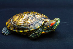One Pond slider isolated on the black background. Closeup Royalty Free Stock Image