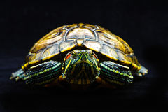 One Pond slider isolated on the black background. Closeup Stock Image