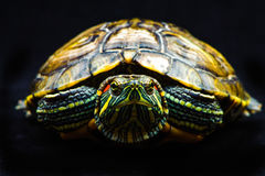 One Pond slider isolated on the black background. Closeup Stock Photography