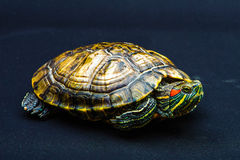 One Pond slider isolated on the black background. Closeup Royalty Free Stock Photos