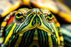 One Pond slider isolated on the black background Stock Photography