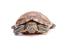 One Pond slider isolated on the white background Stock Photo