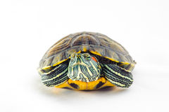 One Pond slider isolated on the white background. Closeup Stock Photo
