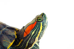 One Pond slider isolated on the white background. Closeup Stock Images