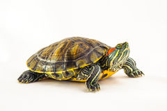 One Pond slider isolated on the white background. Closeup Stock Photos