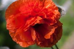 One poppy flower close-up macro as background Stock Photo