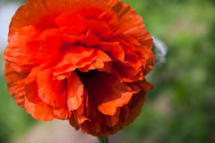 One poppy flower close-up macro as background Royalty Free Stock Image
