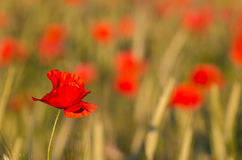 One poppy in focus in a field Royalty Free Stock Images