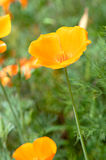 One poppy orange flower. Stock Photos