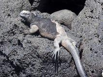 Portrait of the bizarre Marine Iguana, Amblyrhynchus cristatus hassi, Santa Cruz, Galapagos, Ecuador stock image