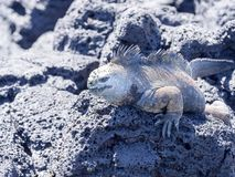 Portrait of the bizarre Marine Iguana, Amblyrhynchus cristatus hassi, Santa Cruz, Galapagos, Ecuador royalty free stock photos