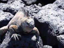 Portrait of the bizarre Marine Iguana, Amblyrhynchus cristatus hassi, Santa Cruz, Galapagos, Ecuador royalty free stock photography