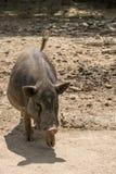 One pot bellied pig sus scrofa - Vietnamese pig.  stock image