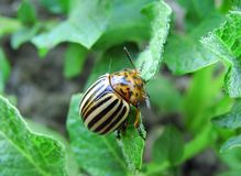 One potato bug close up. The potato bug eats young leaves of potatoes royalty free stock photos
