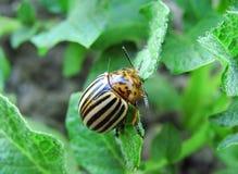 One potato bug close up royalty free stock photos