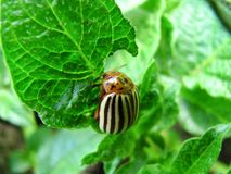 One potato bug close up. The potato bug eats young leaves of potatoes stock photos