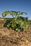 One potato plant against blue sky Stock Photo