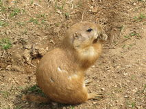 One Prairie Dog Holding Food and Eating Stock Photos