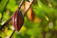 One pretty clean red cocoa pod Royalty Free Stock Photography