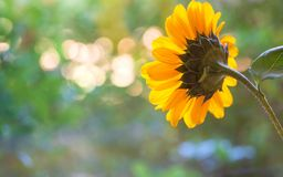 One Pretty Sunflower with Light Orbs in the Background Bokeh with room or space for copy, text or your words. A wide horizontal b