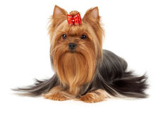 One professionally groomed Yorkshire Terrier Royalty Free Stock Image