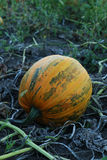 One pumpkin Royalty Free Stock Photo