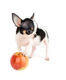One puppy and apple Stock Photos