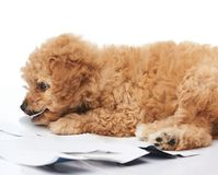 One puppy chewing photo paper. Isolated on white background Royalty Free Stock Photo