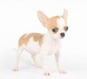 One puppy of Chihuahua Royalty Free Stock Image