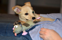 One puppy dog with rubber mouse toy resting on lady belly Stock Images