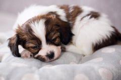One puppy sleep Royalty Free Stock Image