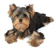 One puppy on white Stock Photos