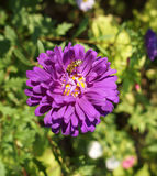 One purple aster callistephus flower with bee Stock Photography