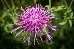 One purple blooming thistle on blurred of evening rural landscape background. Close-up one purple blooming thistle on blurred of evening rural landscape Stock Images