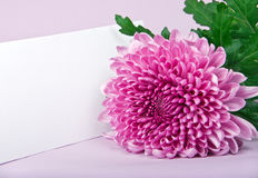 One purple chrysanthemum and postcard Stock Photography