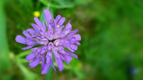 One purple flower. Closeup of a purple flower moved by breeze, over a unfocused background of green grass. Concept of the simplicity based beauty stock footage