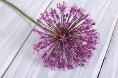 One purple flower decorative onion Allium Royalty Free Stock Images