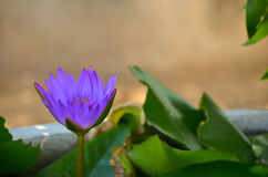 One purple lotus in pond Royalty Free Stock Image