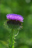 One purple thistle flower head over green Royalty Free Stock Photography
