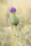 One purple thistle flower Stock Images