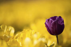One purple tulip among row Royalty Free Stock Photo