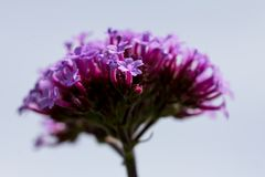 One purple verbena floret against blurred background of verbena head. Delicate pink, purple and mauve verbena floret with hairy stem stands in sharp focus in royalty free stock photography