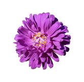One purple with yellow center aster callistephus flower isolated. On white Stock Photography