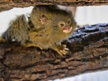 Pygmy marmoset, Callithrix pygmaea niveiventris, female with baby. One Pygmy marmoset, Callithrix pygmaea niveiventris, female with baby Royalty Free Stock Image