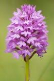 One Pyramidal Orchid (Anacamptis pyramidalis). Stock Photo