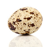 One quail egg Stock Image