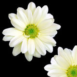 One and a Quarter. Two creamy white chrysanthemum daisies, one shown in full, the other one partially shown on a black background royalty free stock images