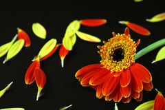 One quarter from a flower on a black background. With petals all over Stock Images